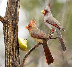 Cardinal and Pyrrhuloxia with apple by Joan Gellatly