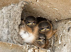 Cliff Swallows by Chuq Von Rospach