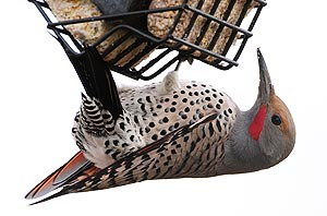 Northern Flicker by Darin Ziegler