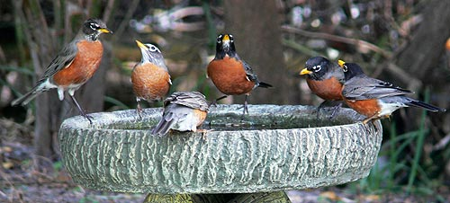 American Robins by Lorraine Margeson