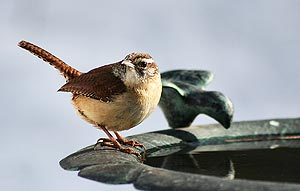 Carolina Wren by Maria Corcacas