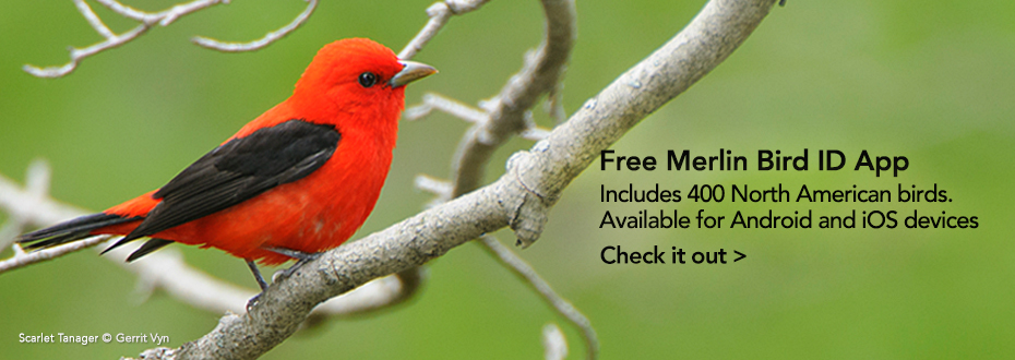 The Merlin Bird ID App: Put a name to the birds around you with our free app