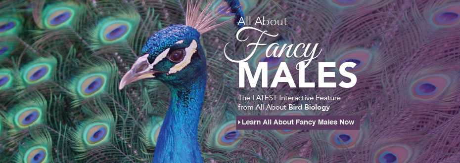All About Fancy Males