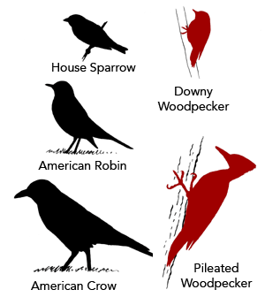 Familiar Birds, Downy Woodpecker, Pileated Woodpecker