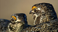 Sharp-tailed Grouse, males facing off