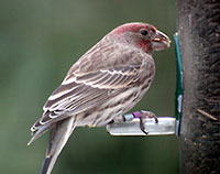 a healthy house finch