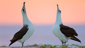 Make a donation. Image: Laysan albatross pair