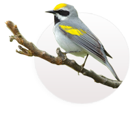 Golden-winged Warbler photo