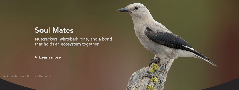 Soul mates: nutcrackers, whitebark pine, and a bond that holds an ecosystem together
