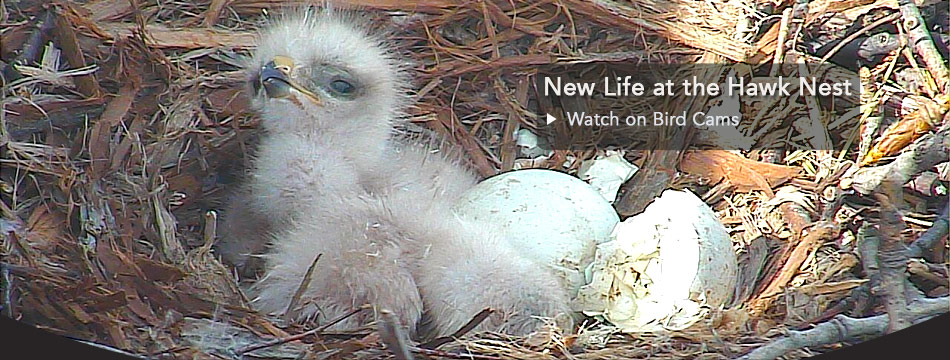 Hawks have hatched - watch now