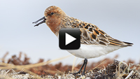 Spoon-billed Sandpiper: Courtship