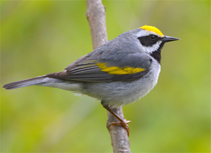 golden-winged warbler by Terry & Joanne Johnson via Birdshare