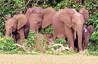 Forest elephant group
