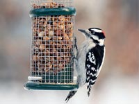 Downy Woodpecker at feeder