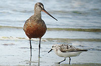 Hudsonian Godwit and Sanderling