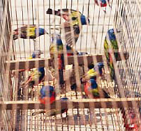 Painted Buntings for cage-bird trade