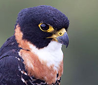 Orange-breated Falcon