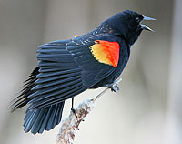 Red-winged Blackbird wingspread display