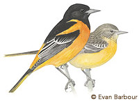 baltimore oriole painting