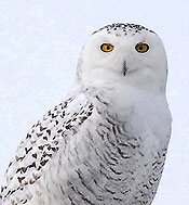 Snowy Owl - like Hedwig in Harry Potter movies