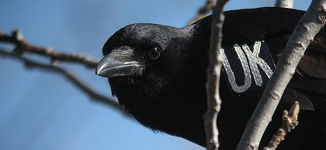 Crows recognize human faces—especially the one that tagged them.