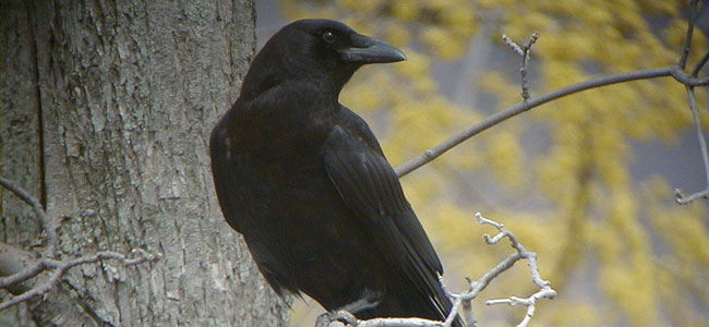 Sentry crows call out a warning if predators come close.