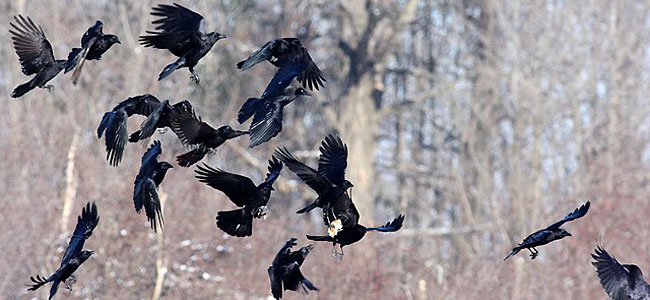 Crows gather at landfills for a buffet.