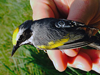 Warbler with geolocator