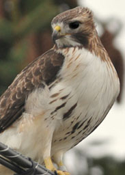Picture of Red-tailed Hawks