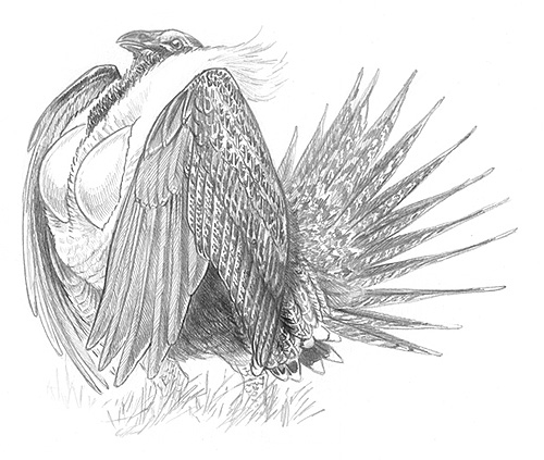 Sage grouse drawing - photo#4
