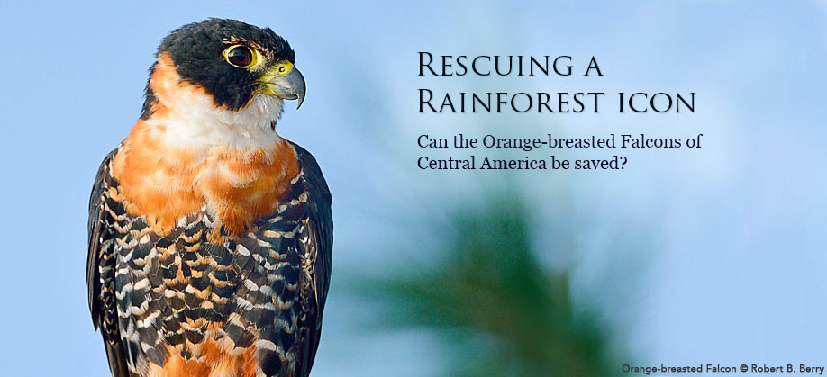 The Orange-breasted Falcon: Can it be saved?