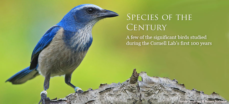 Species of the Century: A few of the significant birds studied during the Cornell Lab of Ornithology's first 100 years