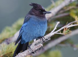 Stellers Jay Photo