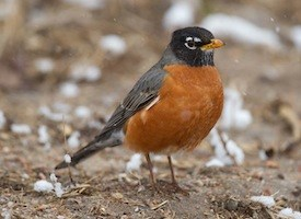 American Robin Photo