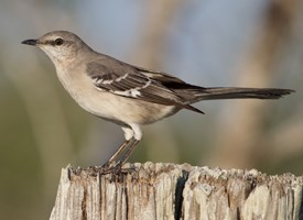 Northern Mockingbird Photo