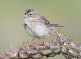 Cassin's Sparrow Photo