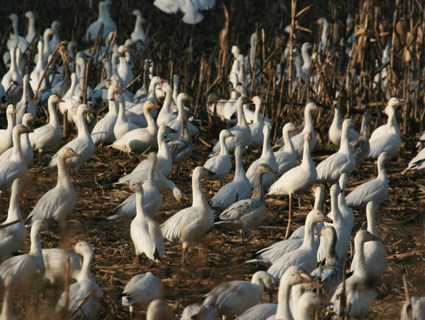 White morph flock