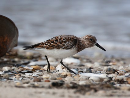 Breeding adult