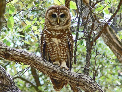 Barred Owl, Identification, All About Birds - Cornell Lab of ...