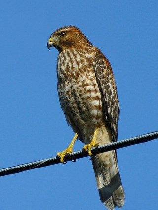 Juvenile (California)
