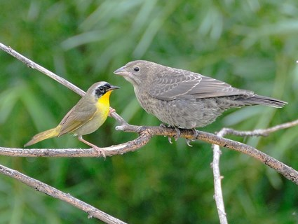 Juvenile with Common Yellowthroat parent