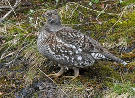 Sooty Grouse Photo