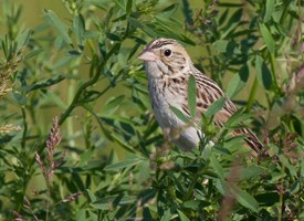 Bairds Sparrow Photo