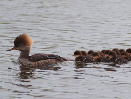 Adult female with ducklings