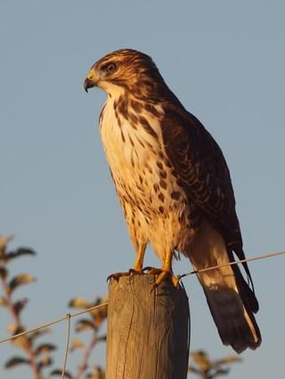 Hawk Species In Pennsylvania Search Results Million