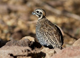 Montezuma Quail Photo