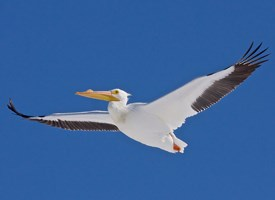 American White Pelican Photo