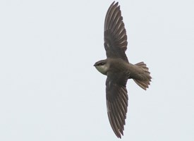 Chimney Swift Photo