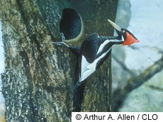 Ivory-billed Woodpecker Photo
