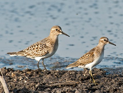 Juvenile (left) with juvenile Least Sandpiper (right)